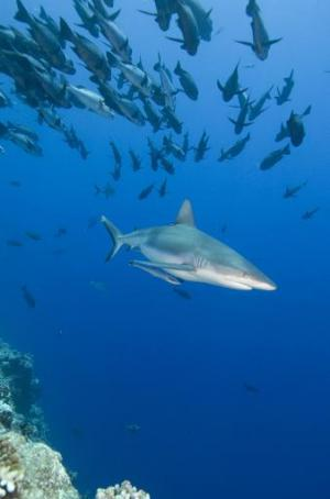 A grey reef shark is seen riding the incoming tide in waters off the small Pacific island nation of Palau, August 27 2014