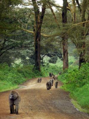 A group of baboons make their way up a road winding through a forest inside the Nakuru National Park in western Kenya, on August