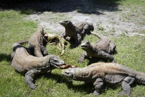 A group of komodo dragons feast on a fresh goat carcass at the Surabaya Zoo on March 20, 2013