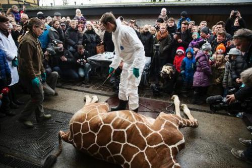A healthy young giraffe named Marius lies on the ground after being shot dead at Copenhagen zoo on Febuary 9, 2014 despite an on