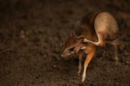 A Java mouse-deer cub, one of the world's smallest hoofed animals, at the Fuengirola Biopark, near Malaga on April 25, 2014