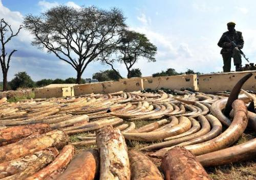 A Kenya Wildlife Services ranger stands guard over an ivory haul in Nairobi on August 23, 2013