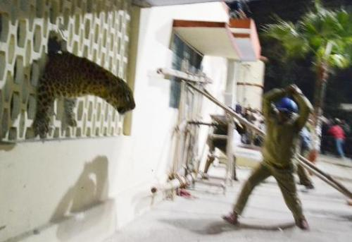 A leopard squeezes through a hole in the wall of the Meerut Cantonment Hospital as an official approaches in Meerut, northeast o