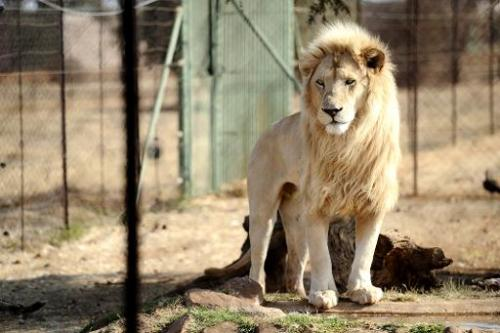 A lion bred for commercial use is pictured on August 3, 2012 in Wolmaransstad, South Africa