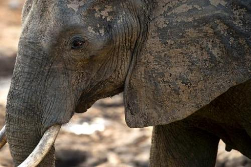 An African elephant is pictured on November 17, 2012 in Hwange National Park in Zimbabwe