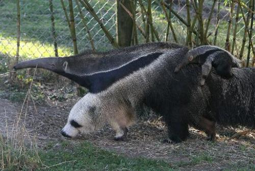 A newborn giant anteater rides on the back of his mom at the San Francisco Zoo on January 20, 2011 in San Francisco, California