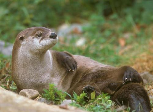 Animal forensics, DNA used to estimate river otter population