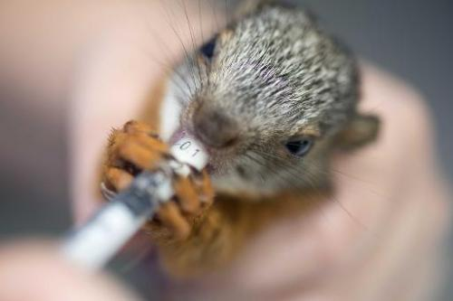 A nurse at the Simon Bolivar Zoo's veterinary surgery gives a medicine to a squirrel in San Jose on August 28, 2014, Costa Rica