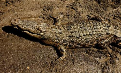 A saltwater crocodile lies on the banks of the Adelaide river near Darwin in Australia's Northern Territory