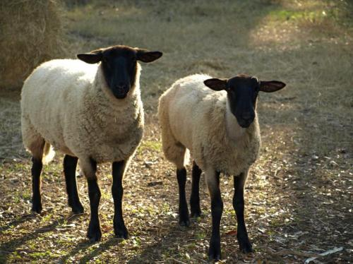 A sheep's early life experiences can shape behavior in later life