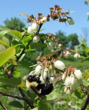 As hubs for bees and pollinators, flowers may be crucial in disease transmission