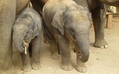 Asian elephants that reproduce at a younger age are more likely to die younger