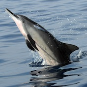Assessing threats to Hawai'i's spinner dolphins