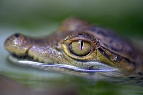 A young Philippine crocodile swims in the water in the zoo in Cologne, western Germany on July 25, 2013