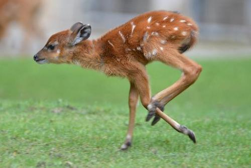 A young sitatunga runs through its enclusure at the zoo in Berlin on September 25, 2013