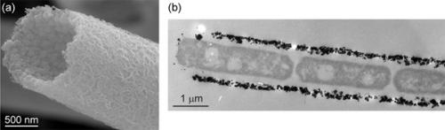 Bacterial nanometric amorphous Fe-based oxide as lithium-ion battery anode material