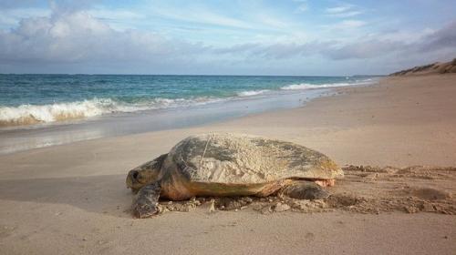 Baseline data indicates another turtle nesting hotspot