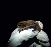 Bat's sea crossing is first from UK to mainland Europe