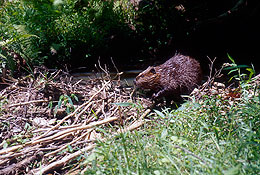 Beavers keep riparian systems healthy