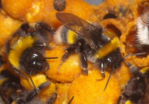 Bee foraging chronically impaired by pesticide exposure: Study