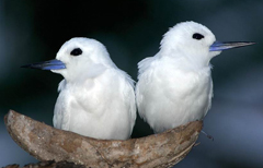 Biased sex ratios predict more promiscuity, polygamy and divorce in birds