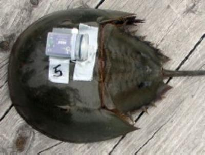 Biomedical bleeding affects horseshoe crab behavior