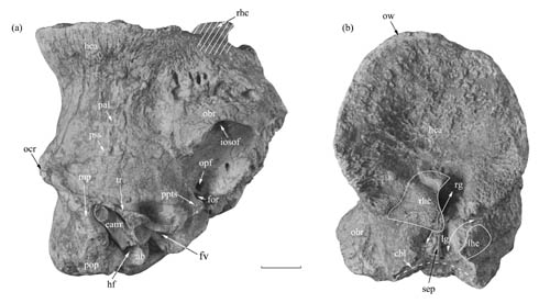 Bizarre Bovid species found from the Late Miocene of Linxia Basin, China