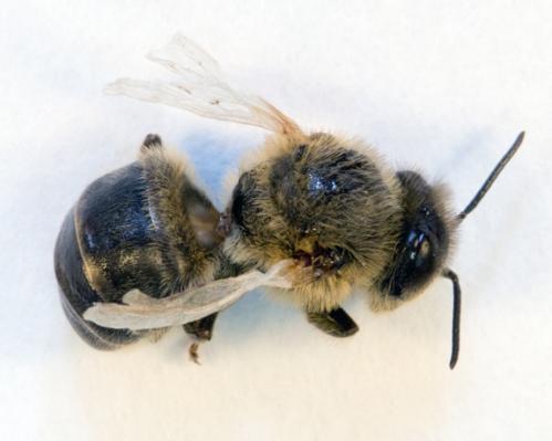 Bloodsucking mite threatens UK honeybees