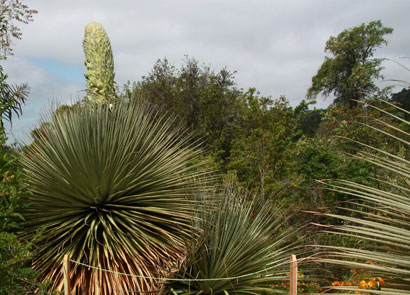 Botanical garden readies for rare, spectacular puya raimondii flowering