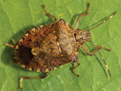 Brown marmorated stink bug biology and management options described in open-access article