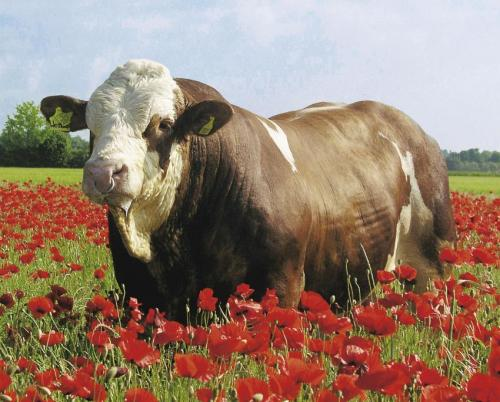 234 cattle genomes sequenced in Phase I of 1000 bull genomes project