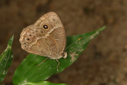 Butterflies switch lifestyles using hormones