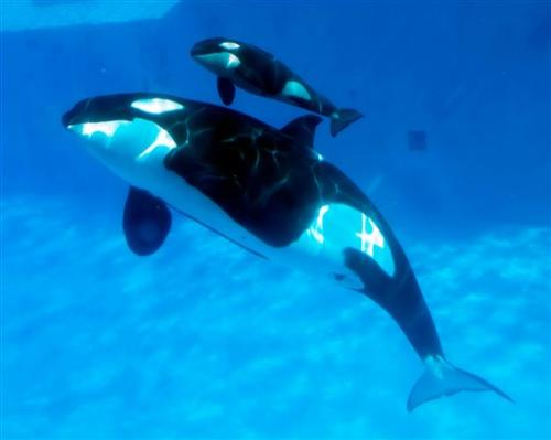California bill that would end orca shows stalls (Update 2)