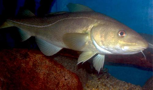 Changes in forage fish abundance alter Atlantic cod distribution, affect fishery success