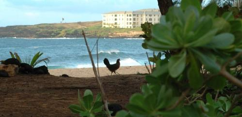 Chickens tell tale of human migration across Pacific