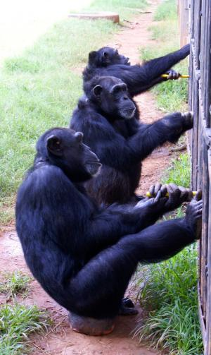 Chimpanzees spontaneously initiate and maintain cooperative behavior