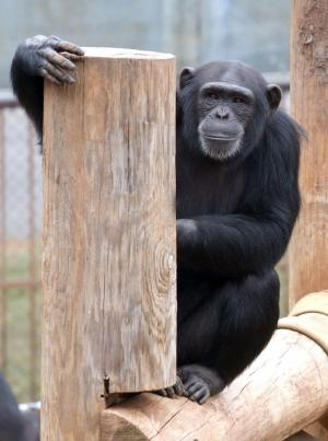 Chimps like listening to music with a different beat, research finds