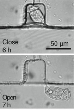 Cilia of Vorticella for active microfluidic mixing