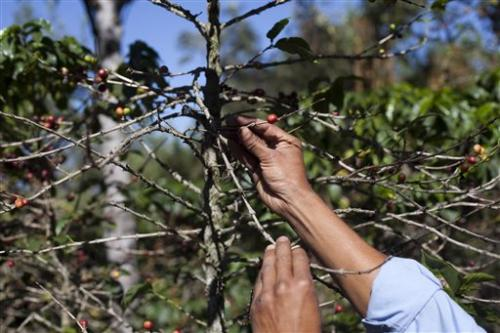 Coffee fungus raising prices for high-end blends