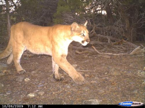 Colorado State University researchers examine population dynamics and disease in mountain lions