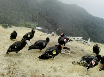 'Condor Watch' enlists citizen scientists to help an endangered species