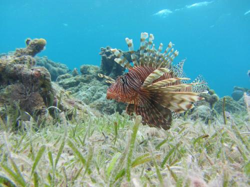Controlling lion's share of lionfish