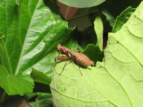 CWRU student discovers new praying mantis species in Rwanda