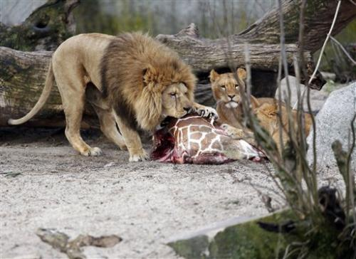 Danish zoo defends lion killing after giraffe cull