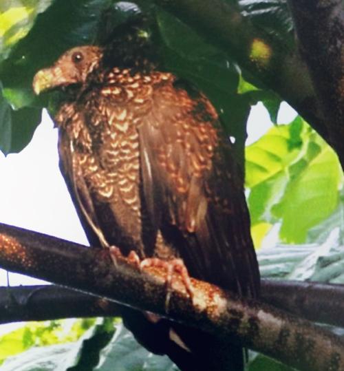 Dead as a dodo? Scientists spot rare Samoan species