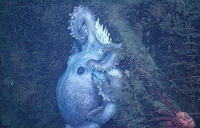 Deep-sea octopus broods eggs for over 4 years -- longer than any known animal