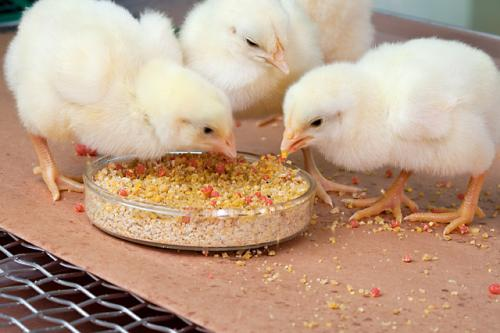 Delivering Vaccines Chicks Can Gobble Up