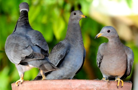 Die-offs of band-tailed pigeons connected to newly discovered parasite