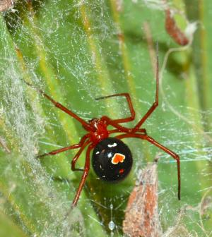 Diet of elusive red widow spider revealed by MU biologist