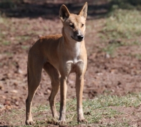 Dingo a distinct species